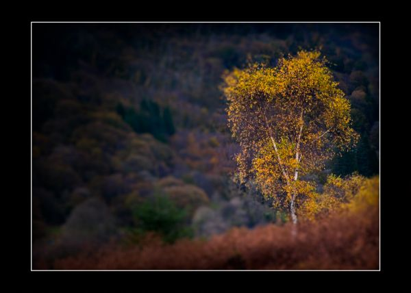 Autumn Silver Birch