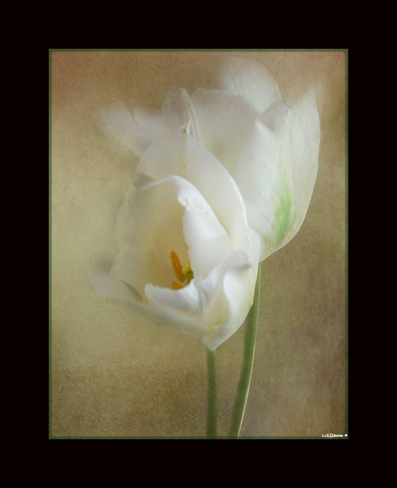 Douceur blanche...