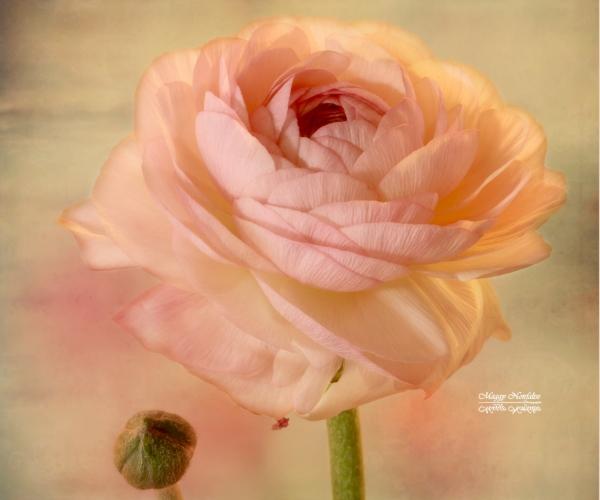 Encore un peu de rose...