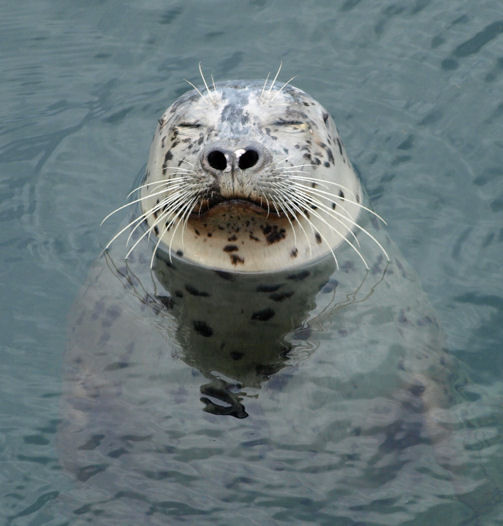 Friday Harbor Seal