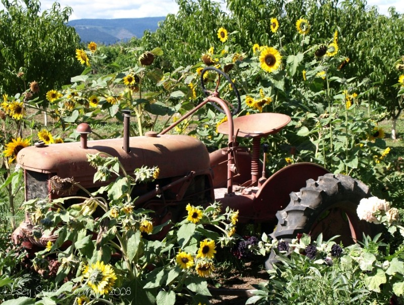 Tractor Sunflowers