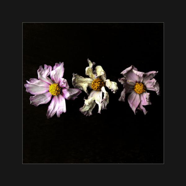 Trois fleurs fanées