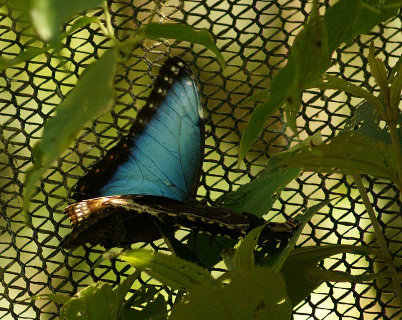 The Dratted Blue Morpho - Costa Rica #15