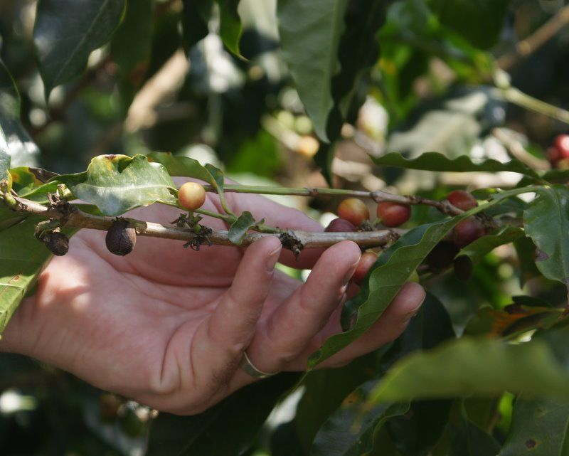 Coffee cherries - Costa Rica #25