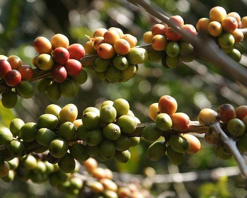 More coffee cherries - Costa Rica #26