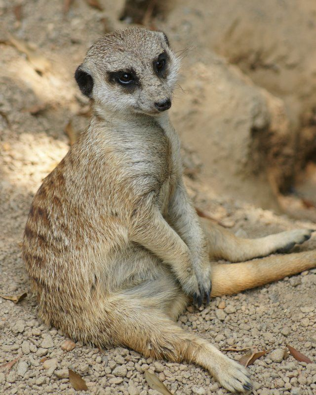 Meerkat - The Casual Pose