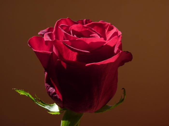 rosa III
