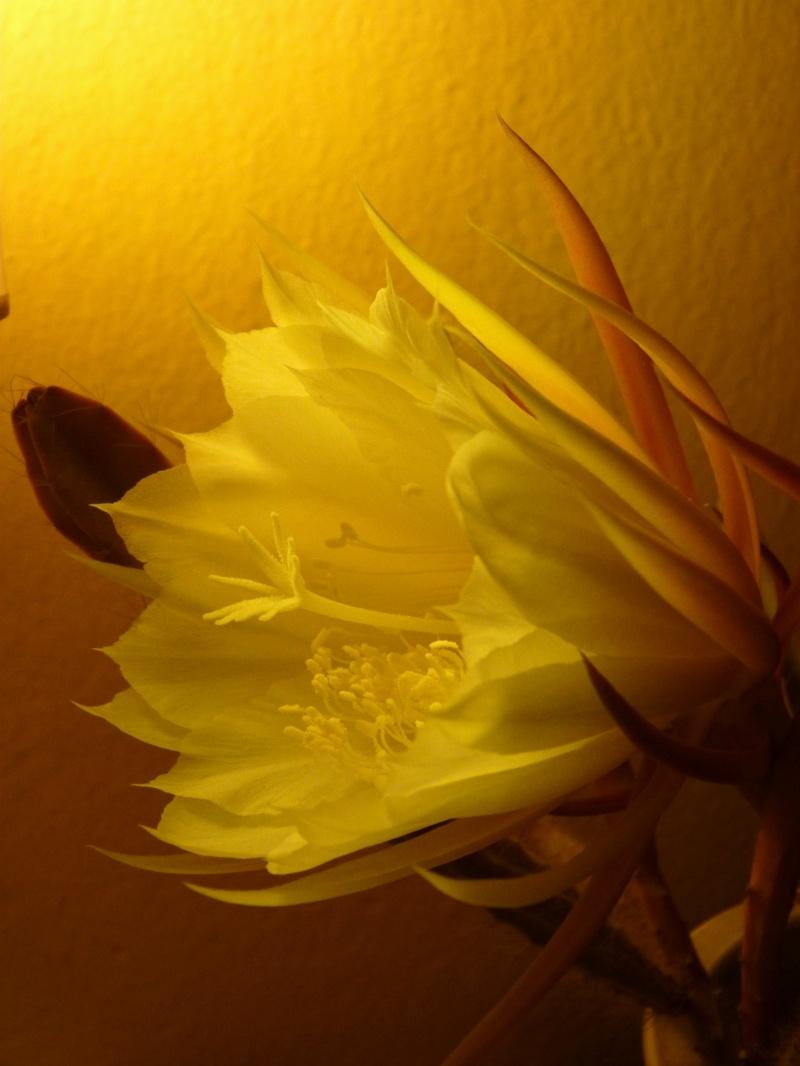 flor d'una nit