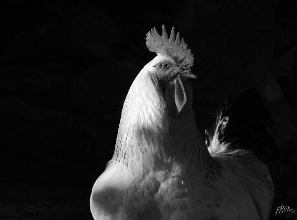 coq en noir et blanc