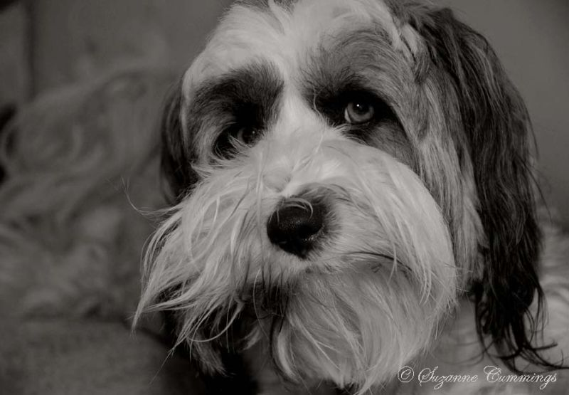 Mickey the Tibetan Terrier