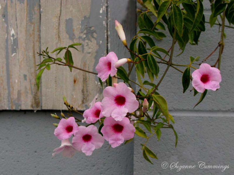 Flowering Vine