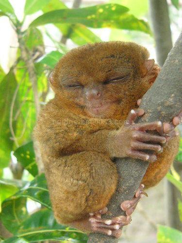 philippine tarsier, bohol