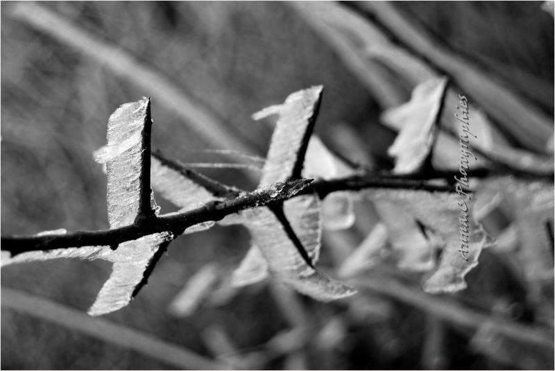 L'épine givrée ( The frozen thorn )