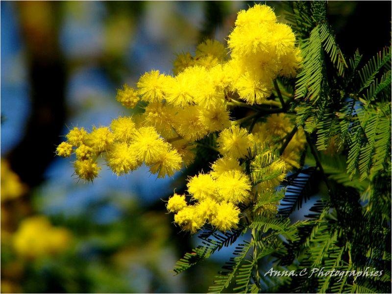 les mimosas sont fleuris !