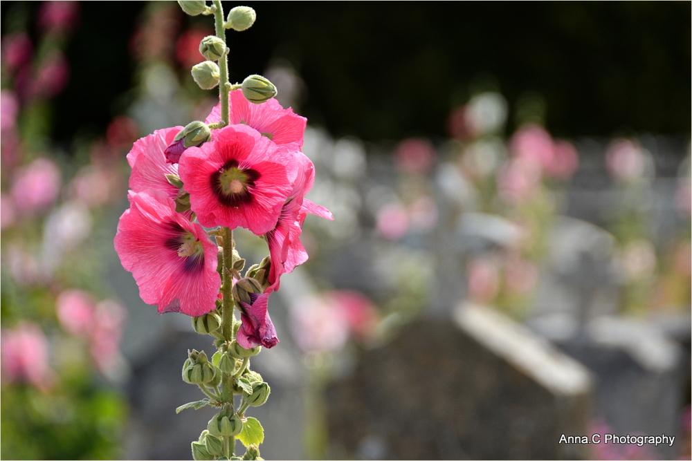 Fleurs de cimetière