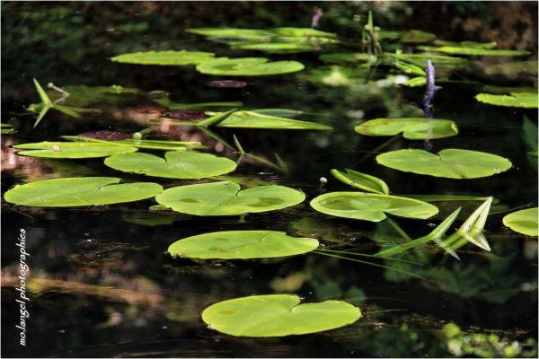Nénuphars du petit étang