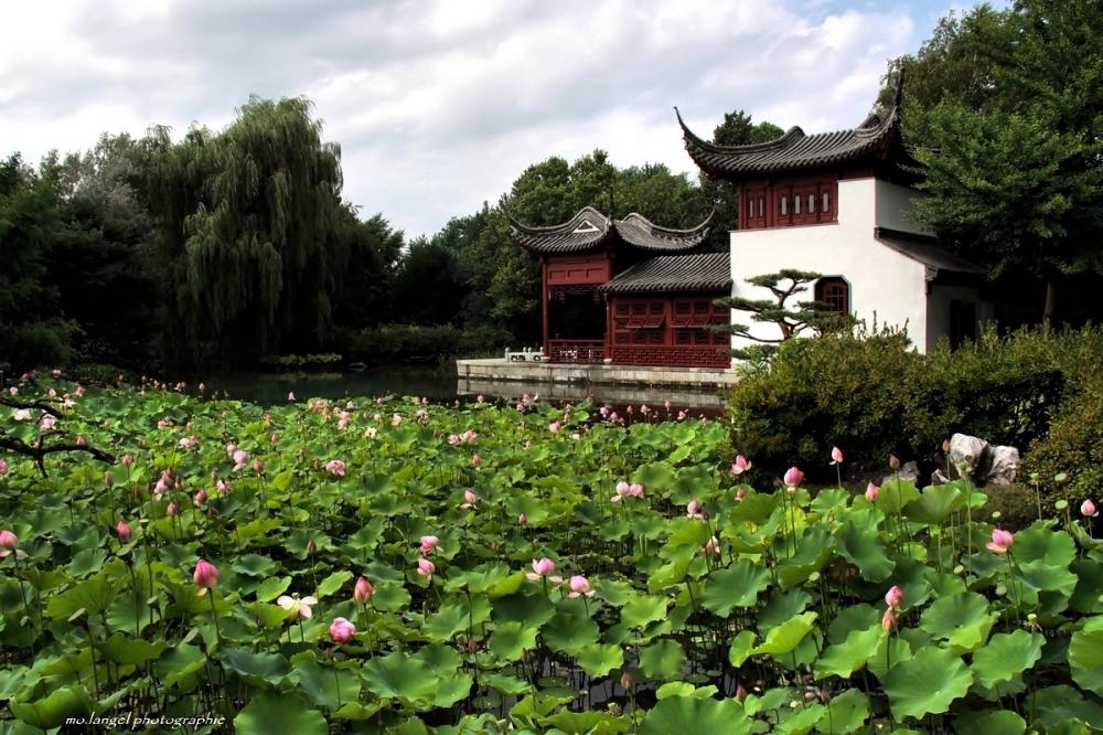 Le jardin des lotus