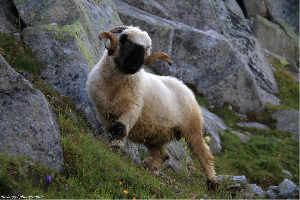 Le mouton à nez noir