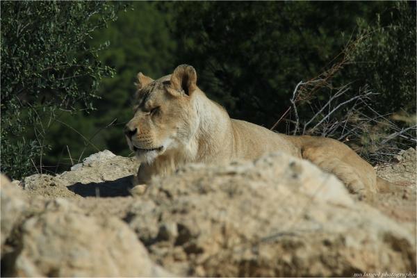 Le repos de la lionne