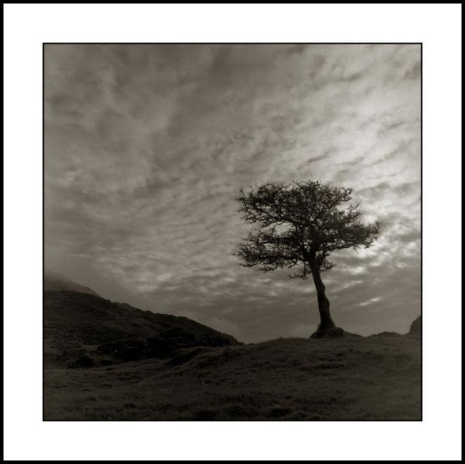 Tree Carlingford