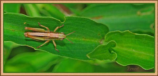 brown grasshopper