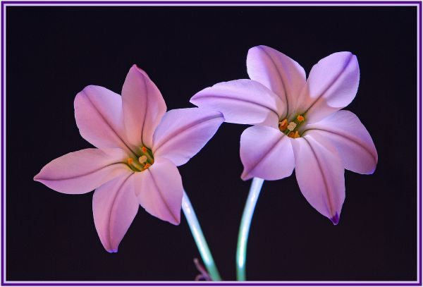 purple bulbs