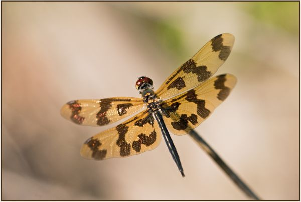 brown and gold dragonfly