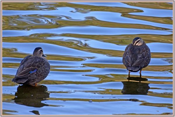 Pacific ducks