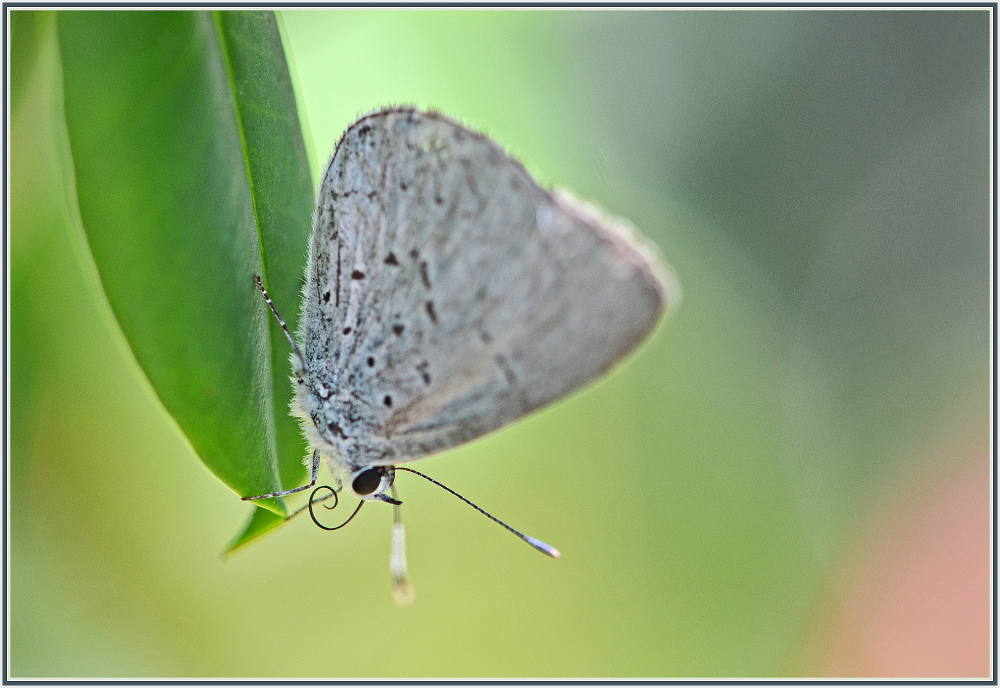 small grey butterfly