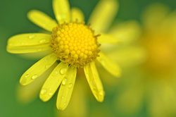 rain on yellow flower