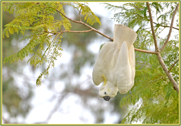 cockatoo in acrobat mode