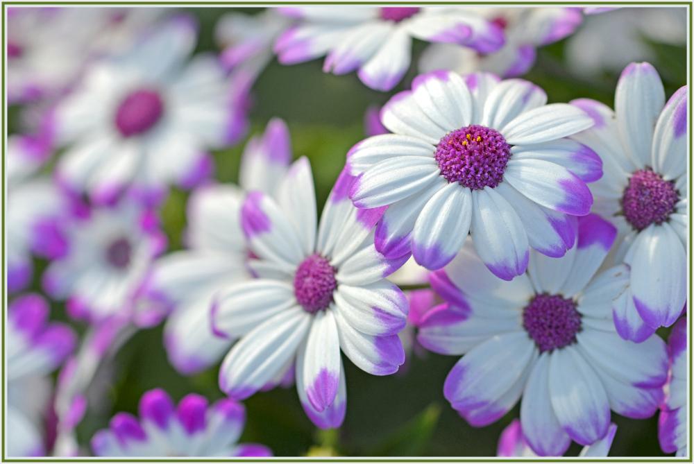 white magenta flower