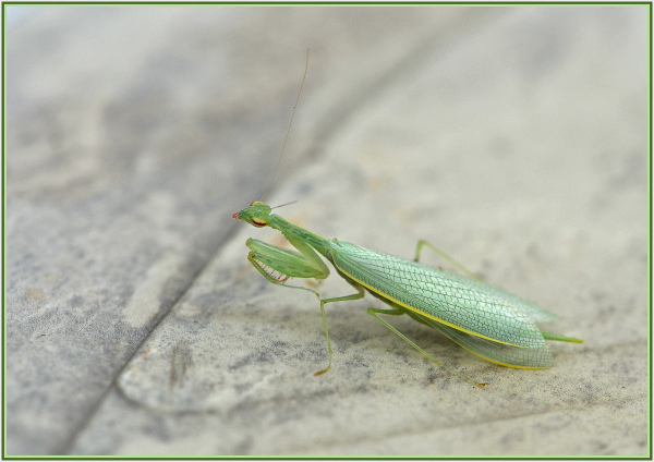 mantiss
