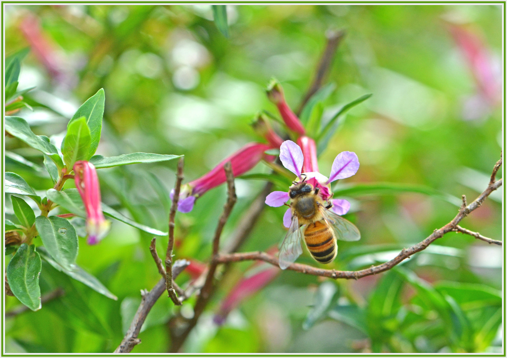 bee on paink flower