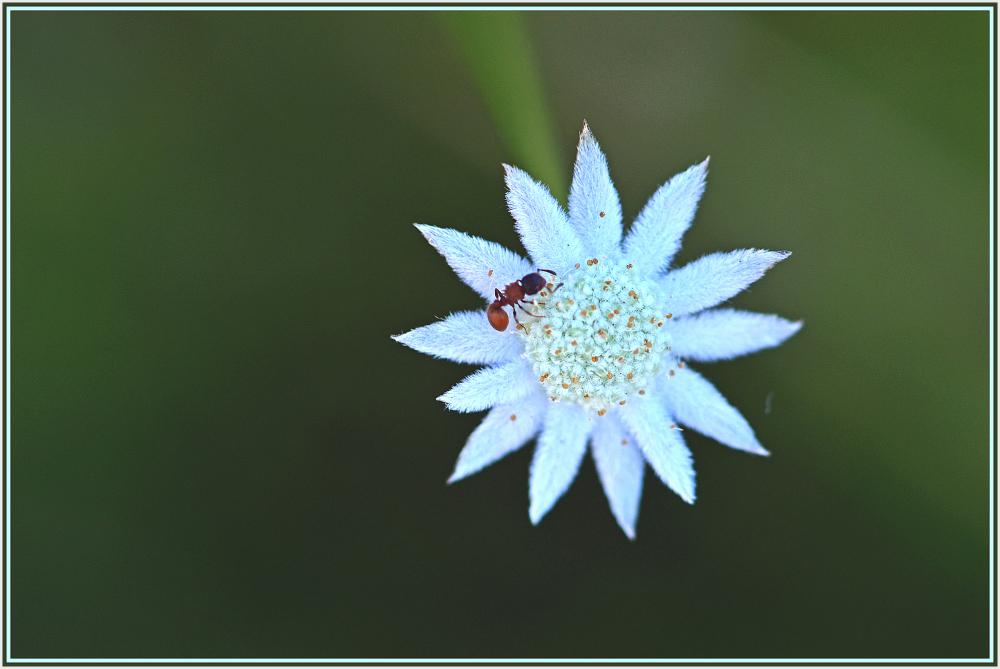 small wild white flower
