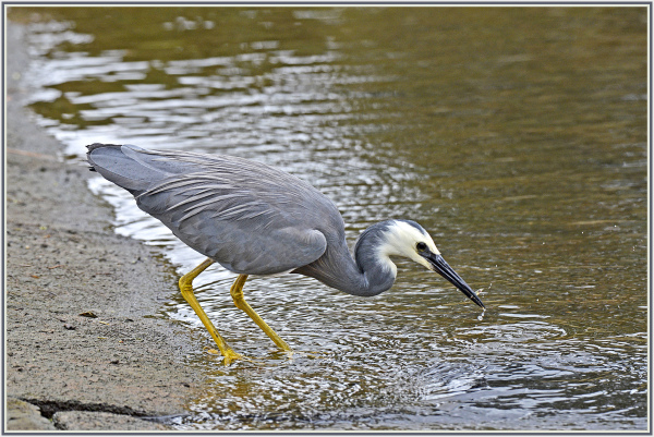 small catch of a heron
