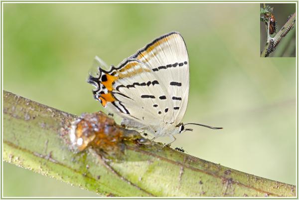 Imperial Hairstreak butterfly