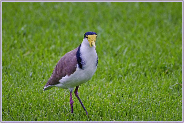 masked lapwing in the rain
