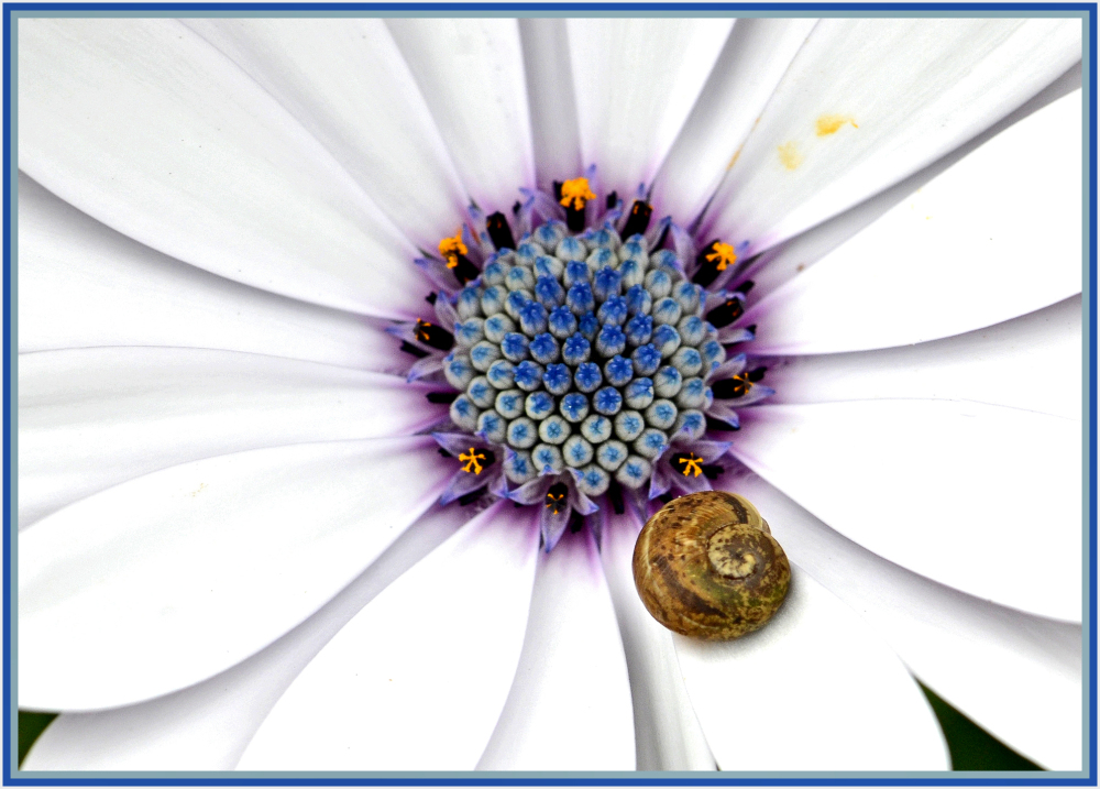 snail on white daisy