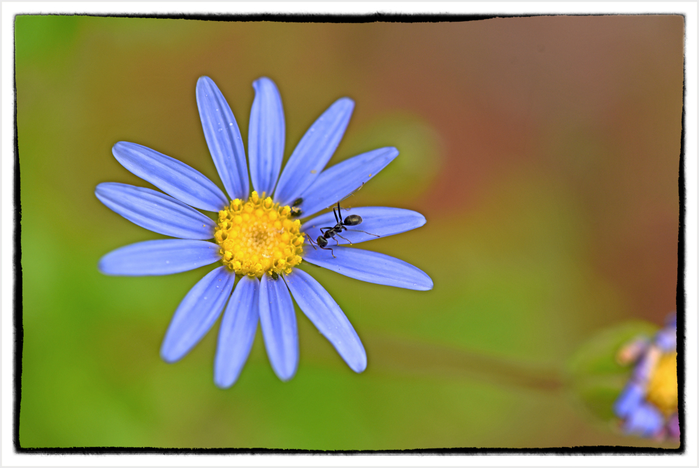 ant on blue daisy
