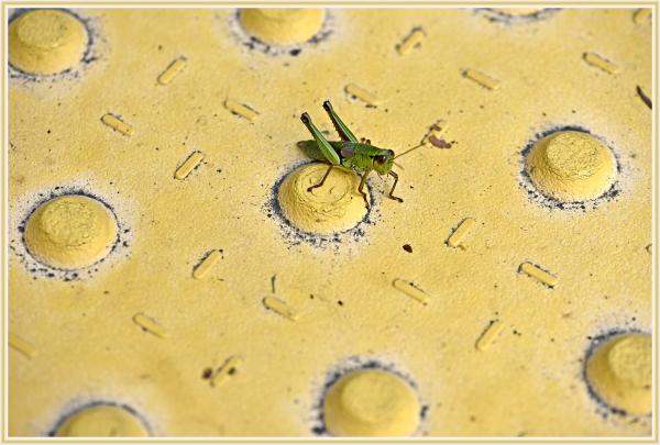Grasshopper in Hakone Japan