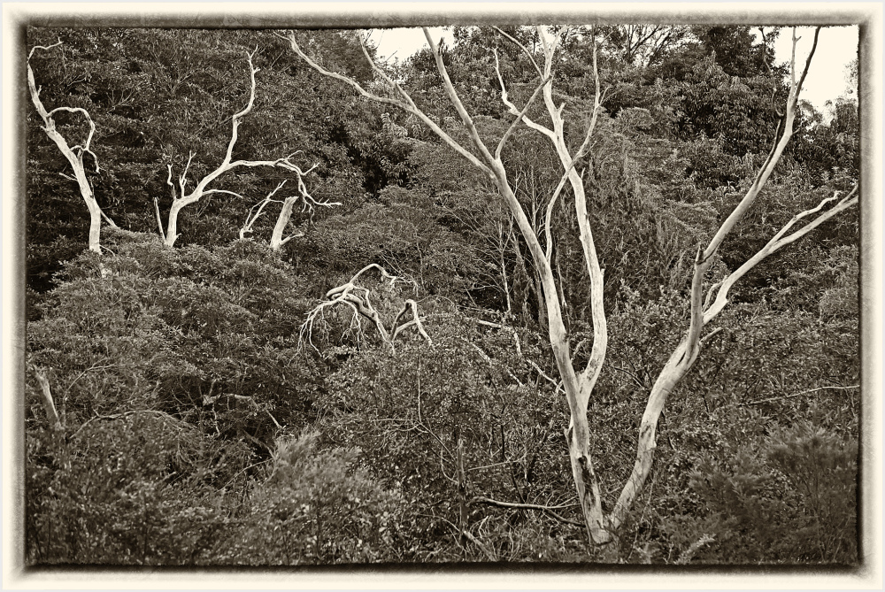 Dead trees in the bush
