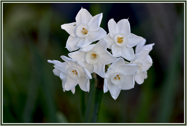 white daffodile