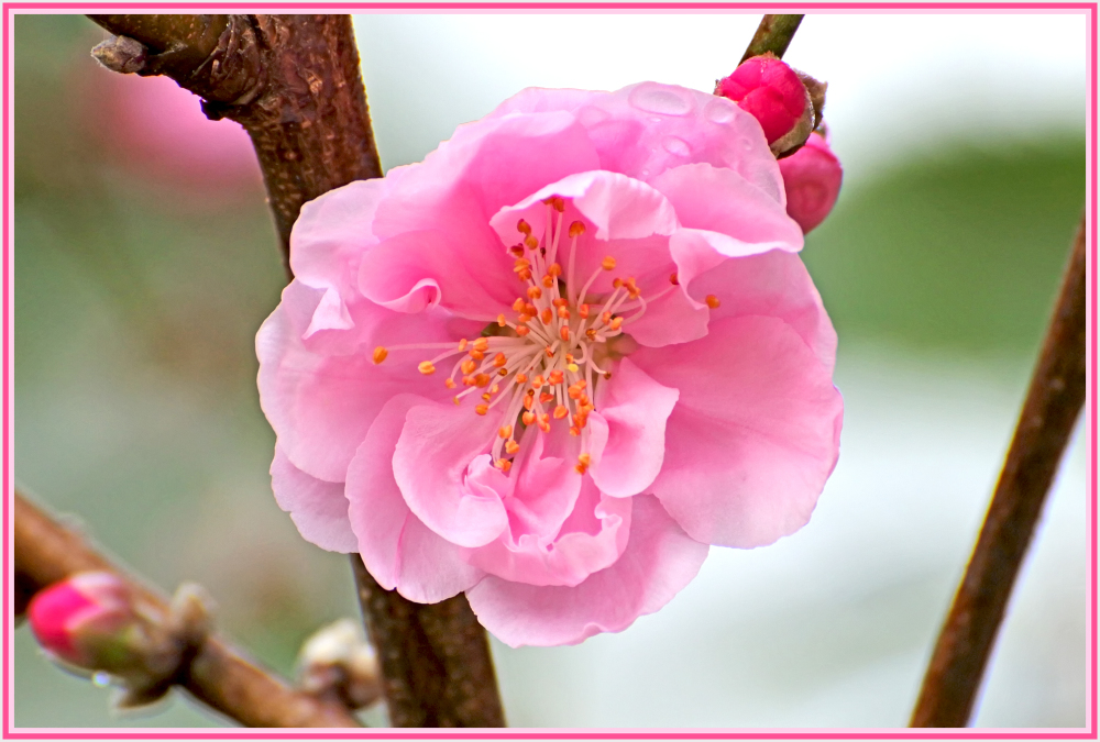 First cherry blossom