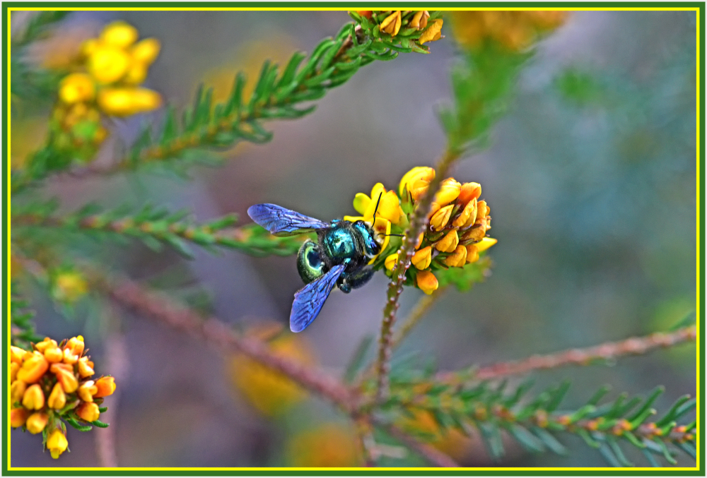 Green bee on yellow flower