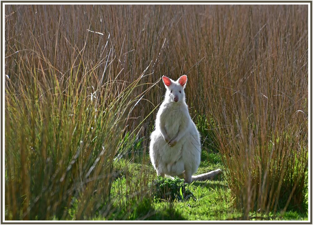 White Kangaroo in Bruny Island Tasmania