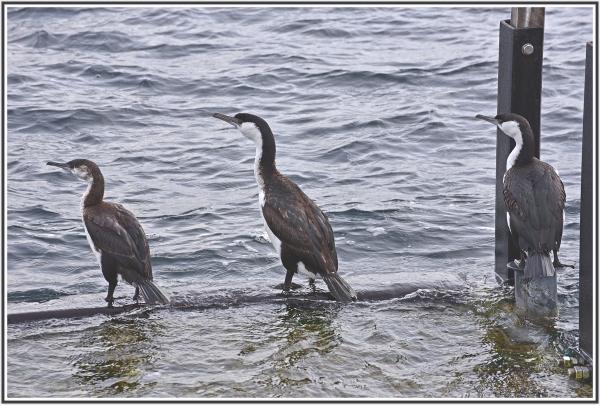 Cormorant in Adventure Bay Bruny Island Tasmania