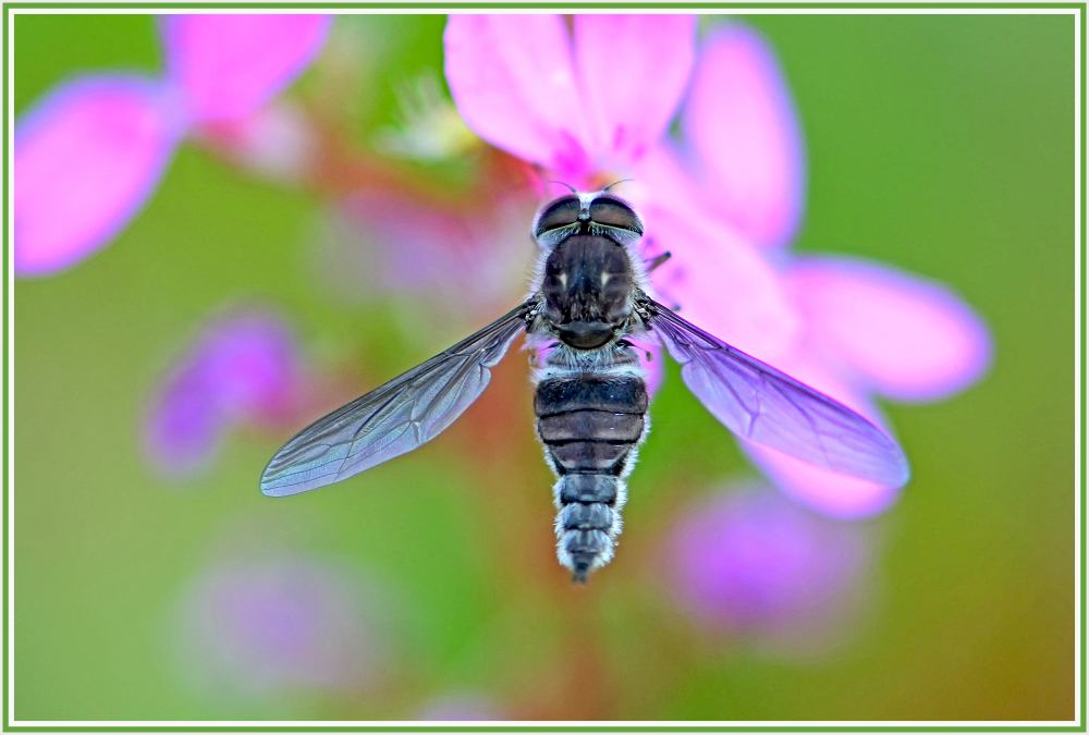 Big belly fly on pink wild flower