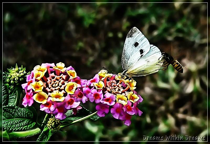 white butterfly and german wasp