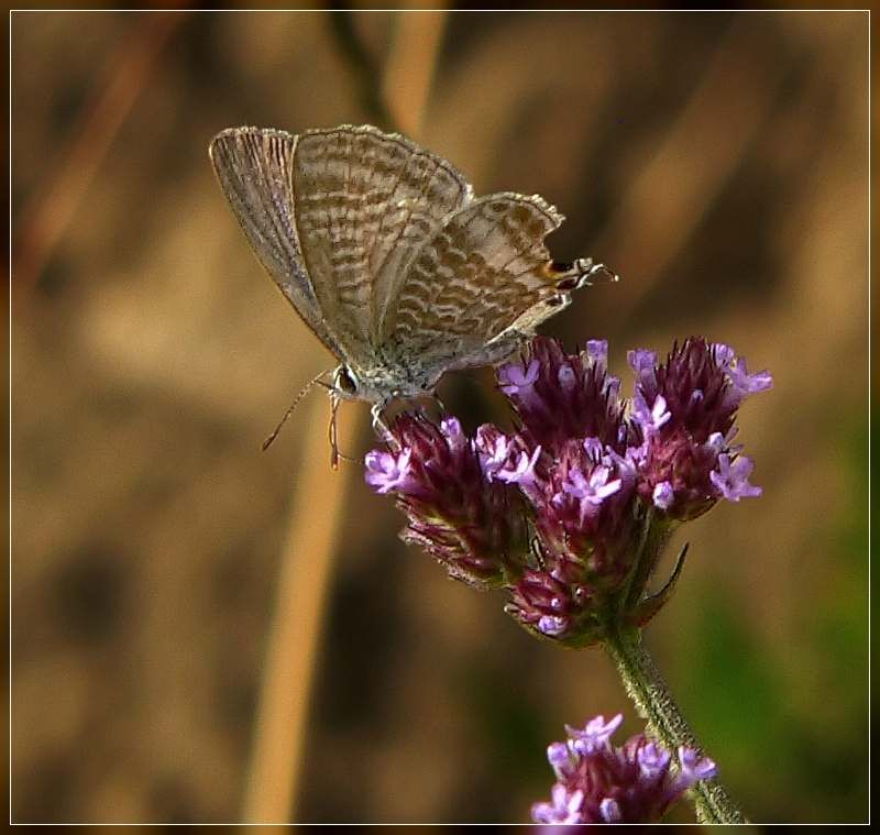 Long-tailed blue butterfly Lampides boeticus